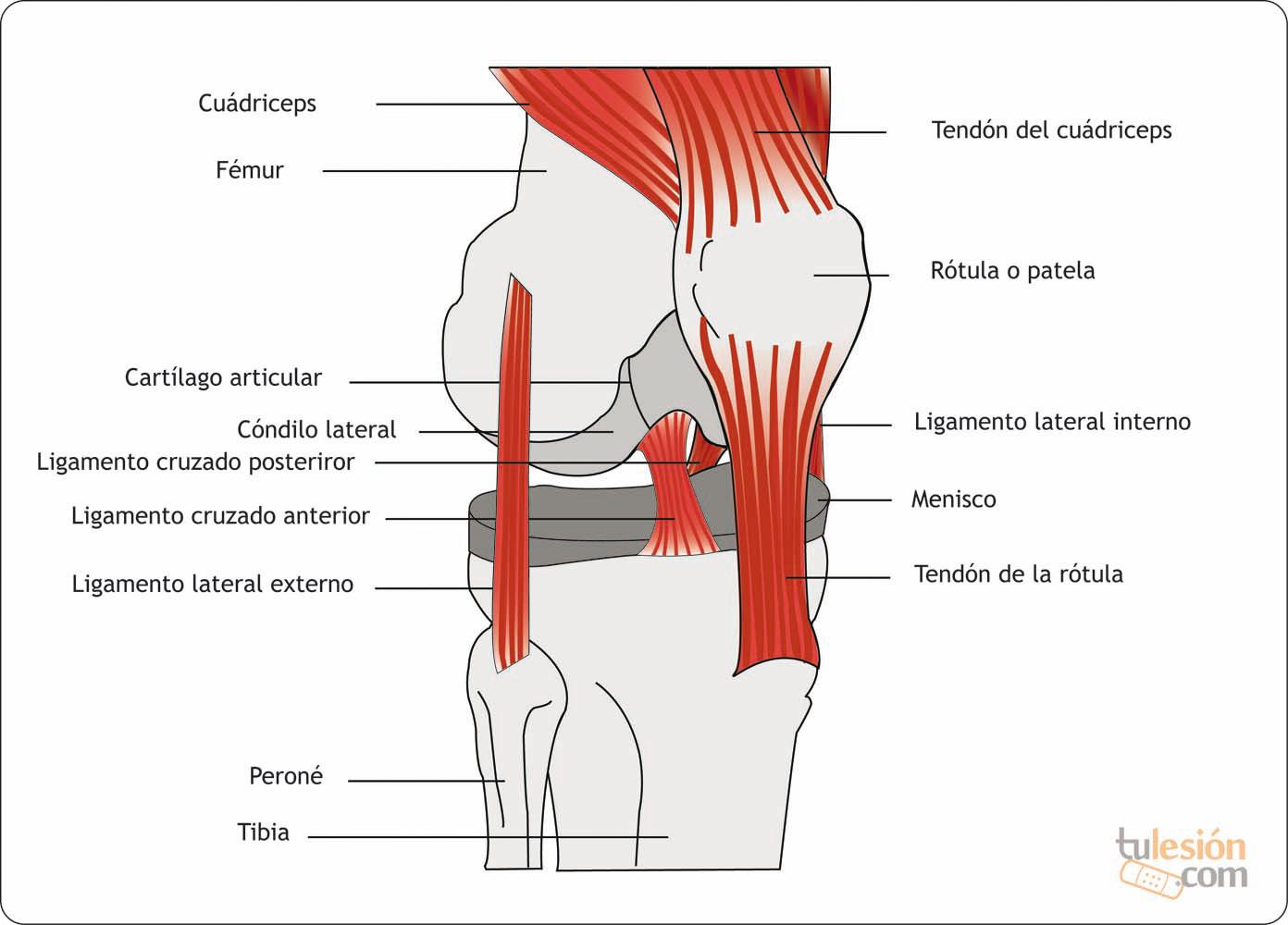 Contemporáneo La Anatomía De La Rodilla Humana Bandera - Anatomía de ...